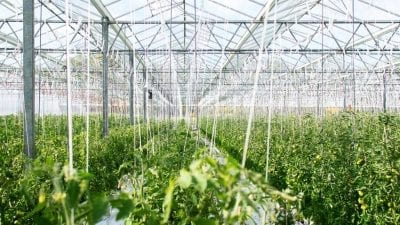 Greenhouse Growers Can Master Significant Energy Challenges